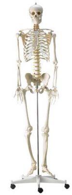Heine Scientific® Menschliches Skelett in Originalgröße