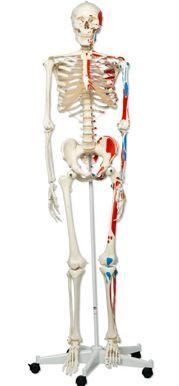 3B-Scientific® Muskelskelett Max, auf 5-Fuß-Rollenstativ