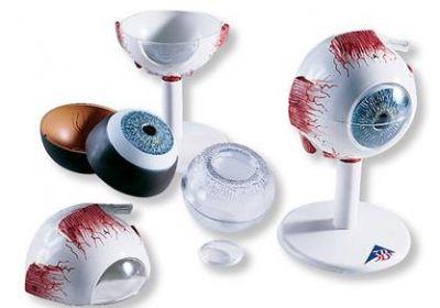 3B-Scientific® Auge, 3-fache Größe, 6-teilig