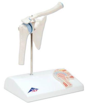 3B-Scientific® Minigelenk Edition - Schultergelenk