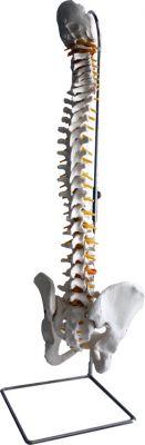 3B-Scientific® Klassische flexible Wirbelsäule