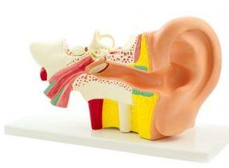 Anatomisches Modell Das Ohr - 4-teilig