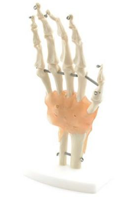 Heine Scientific® Anatomisches Modell Die Hand