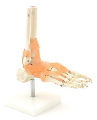 Heine Scientific® Anatomisches Modell Der Fuß