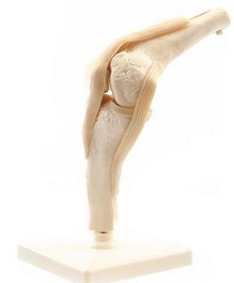 Heine Scientific® Anatomisches Modell Das Knie