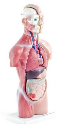 Heine Scientific® Torso-Modell