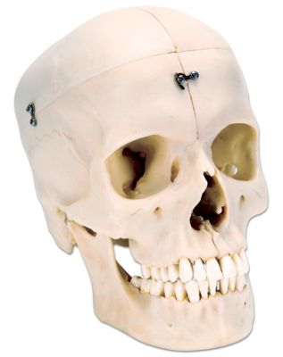3B-Scientific® BONElike Systemschädel - Knöcherner Schädel