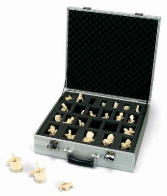 3B-Scientific® BONElike Set mit 24 Wirbeln