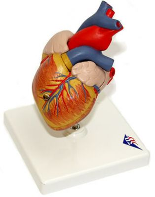 3B-Scientific® Herzmodell Klassik, 2-teilig
