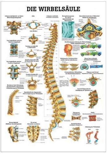 anatomische lehrtafel, wirbelsäule des Menschen