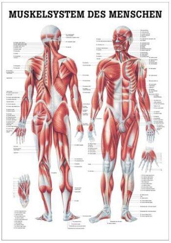 anatomische lehrtafel, muskelsystem