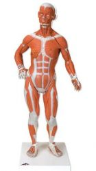 3B-Scientific® Mini-Muskelfigur, 1/3 Größe, 2-teilig