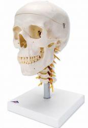 3B-Scientific® Schädel auf HWS