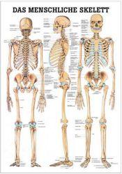 Rüdiger-Anatomie - Anatomische Tafel Skelett