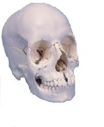3B-Scientific® Steckschädel 22-teilig-anatomisch