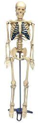 3B-Scientific® Schreibtisch-Skelett