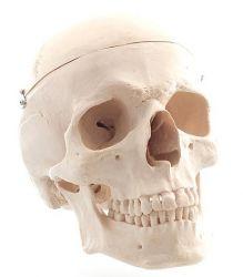 Heine Scientific® Anatomisches Modell Der Schädel