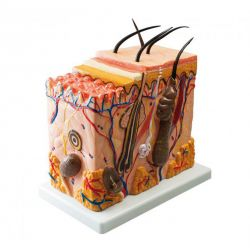 Anatomisches Modell Die Haut